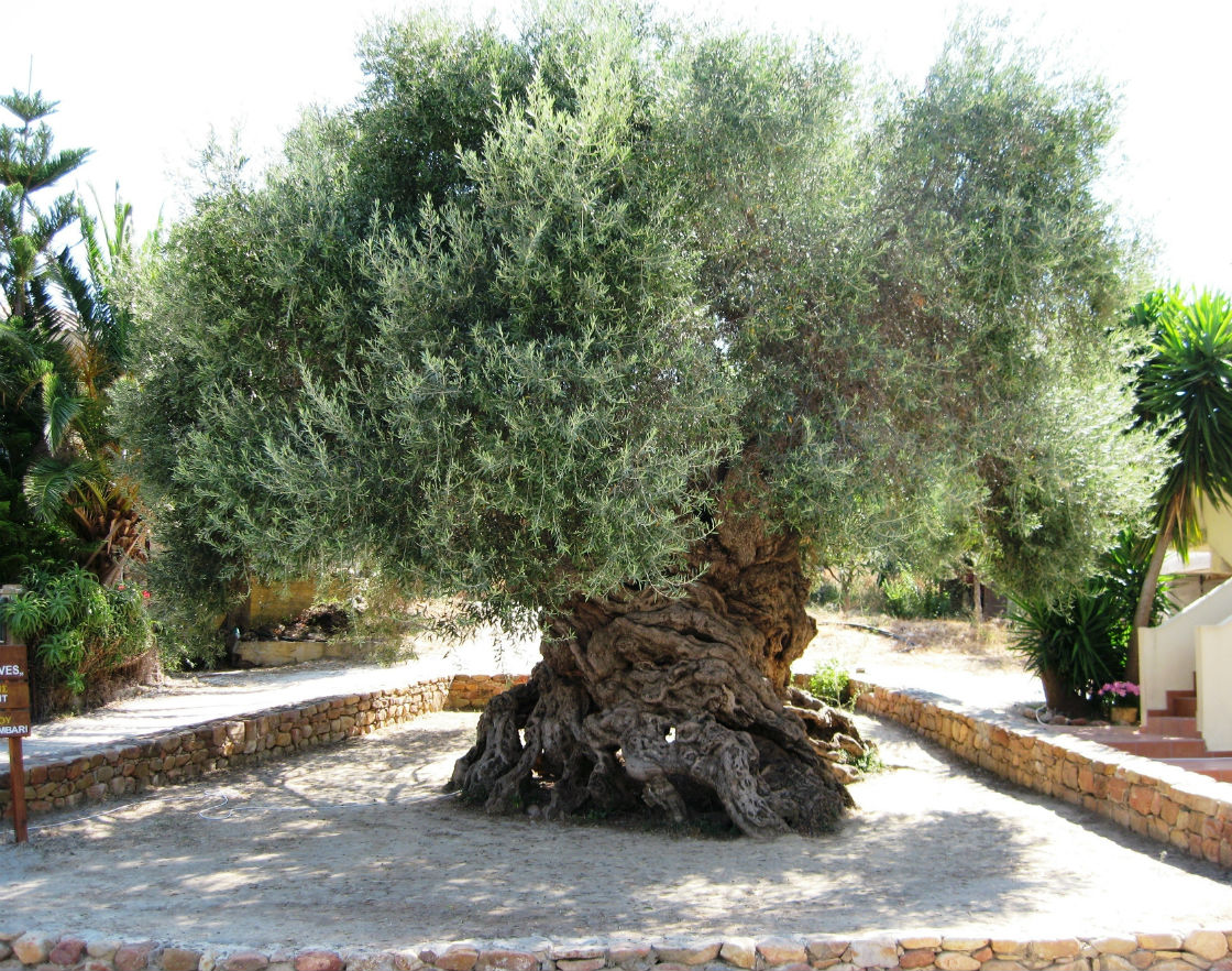 old olive tree vouves